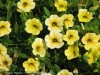 Petunia Mini (Yellow)