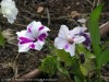 Petunia (White-Purple) (2)