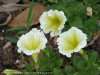 Petunia (White-Yellow)