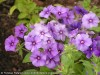 Phlox Drummondii (Purple) (1)