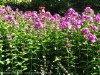 Phlox Drummondii (Purple) (3)