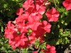 Phlox Drummondii (Red)