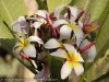 Plumeria Rubra (White-Yellow) (2)