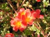 Portulaca Umbraticola Wildfire (Red)