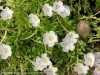 Portulaca Umbraticola Wildfire (White)