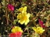 Portulaca Umbraticola Wildfire (Yellow)