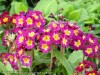 Primula Cultivars (Purple-Yellow)