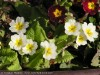 Primula Cultivars (White-Yellow)