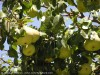 Pyrus Communis (European Pear)