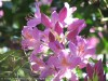 Rhododendron (Purple) (2)