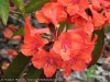 Rhododendron (Red) (3)