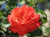 Rosa (Red) (3)