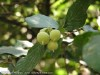 Styrax Officinalis
