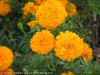 Tagetes Erecta (Orange)