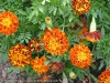 Tagetes Patula (Orange-Red)