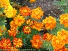 Tagetes Patula (Orange-Red) (2)
