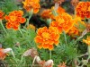 Tagetes Patula (Orange) (1)