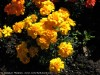 Tagetes Patula (Orange) (2)