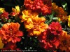 Tagetes Patula (Red)