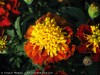 Tagetes (Bourdeaux-Orange)