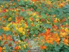 Tropaeolum Majus (Mixed)