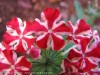 Verbena Hybrida (Red-White)