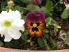 Viola Tricolor (Purple-Yellow-Black) (1)