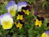 Viola Cornuta Hybrid (Purple-Yellow) (1)