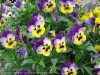 Viola Tricolor (Purple-Yellow) (3)